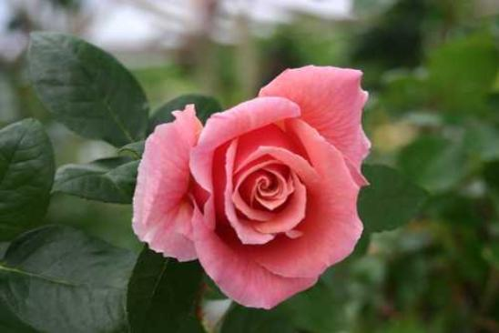 rose bud asian dating website Riya sen relationship list riya sen dating history, 2018, 2017 asian/indian new years` s day is your birthday and now you are looking like a fresh rose bud.